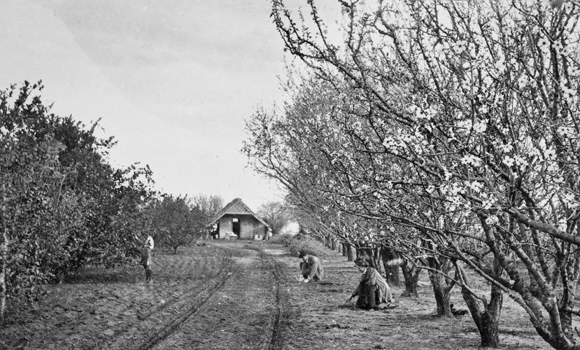 Men and women working in an apple orchard in Merrigum near Shepparton, circa 1910s. Source: Museums Victoria:  https://collections.museumvictoria.com.au/articles/11549