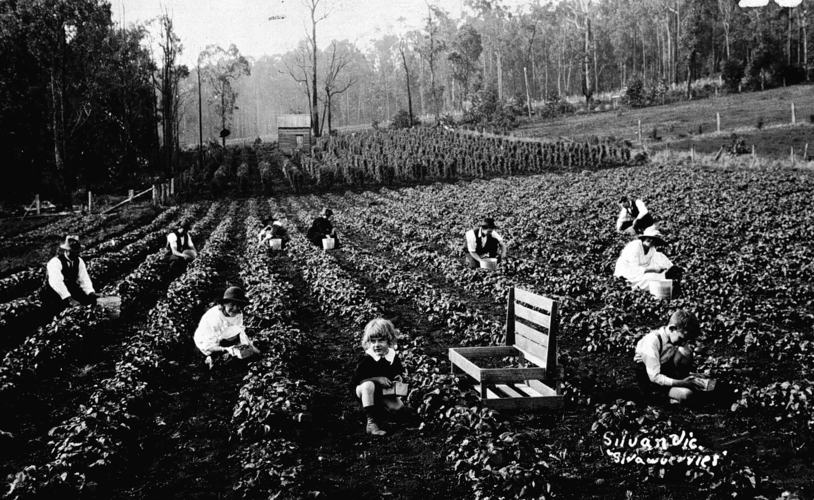 Men, women and children sharing the fruit picking duties, Silvan, Victoria, circa pre-1930s, Source: Museums Victoria:  https://collections.museumvictoria.com.au/items/774208