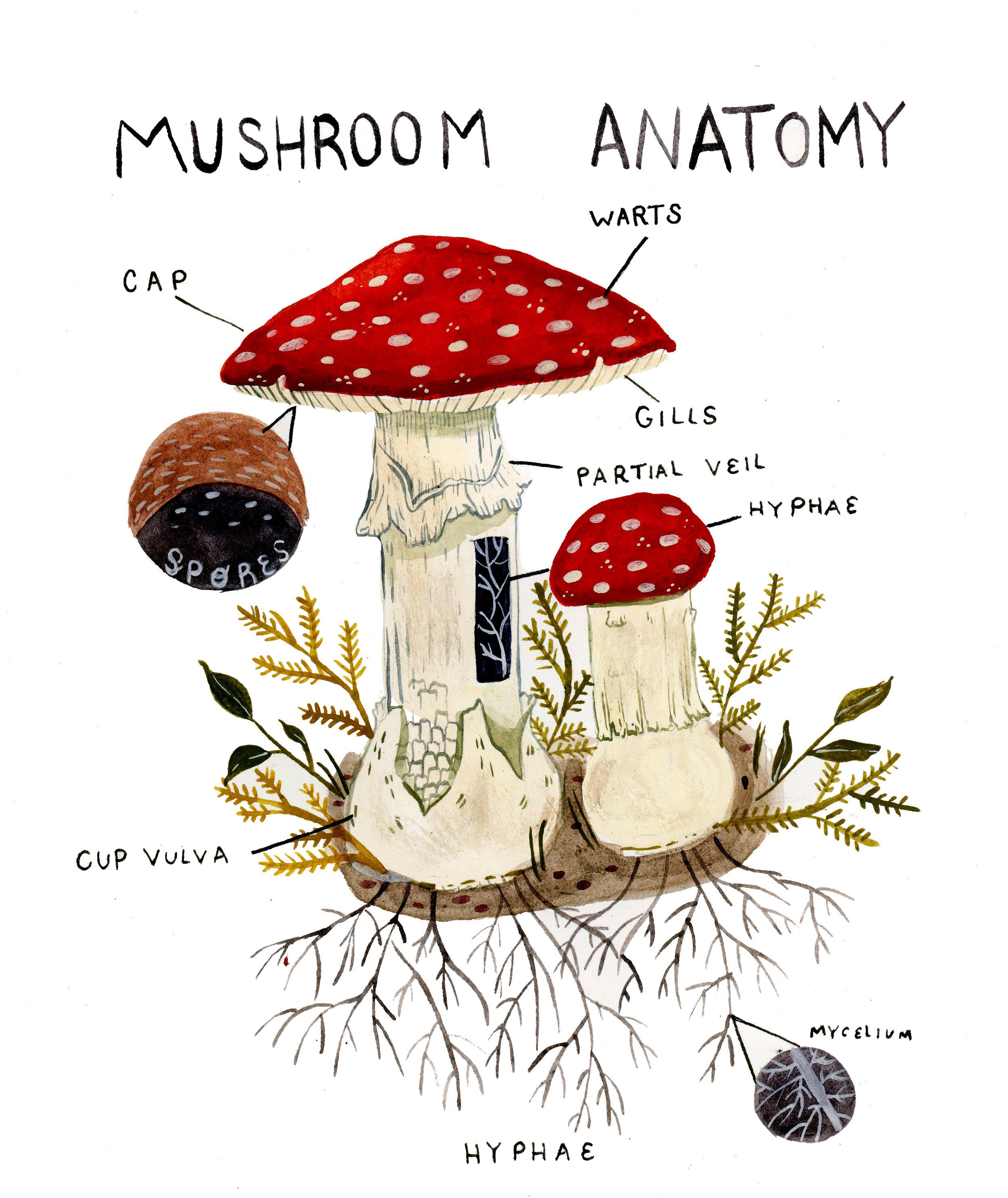 mushroomanatomy.jpg