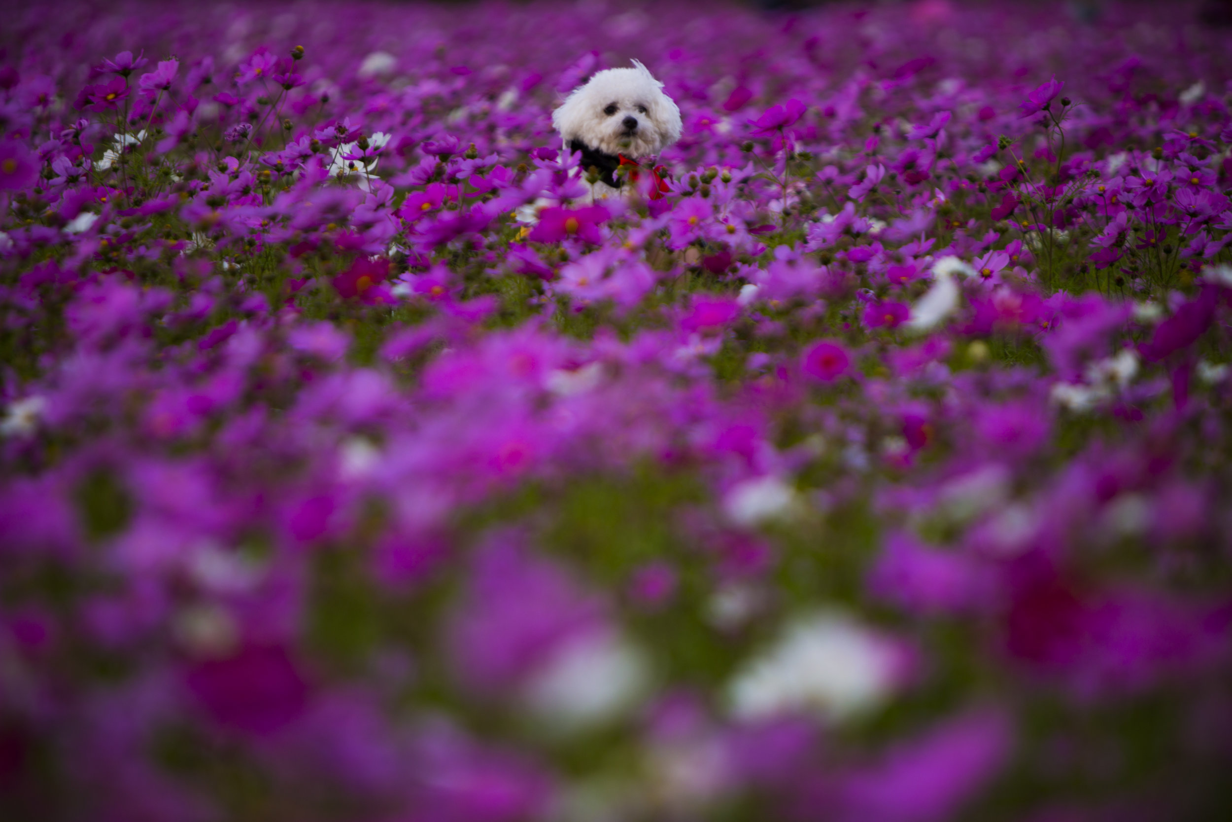"""If the dog stood on its own the flowers would have completely covered him. But the dog's owner insisted on a shot of """"Blancito's"""" head popping over the magenta-colored field. And funny enough the owner, gone unnoticed in this photo, kneels as close to the ground as possible to hold Blancito over her head."""