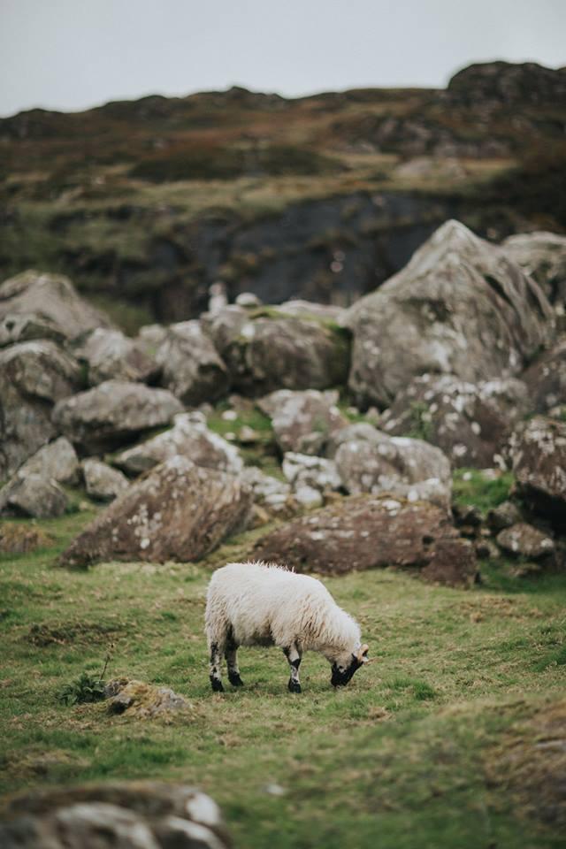 lamb-ireland