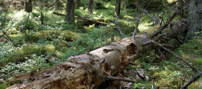 död i skogen.jpg