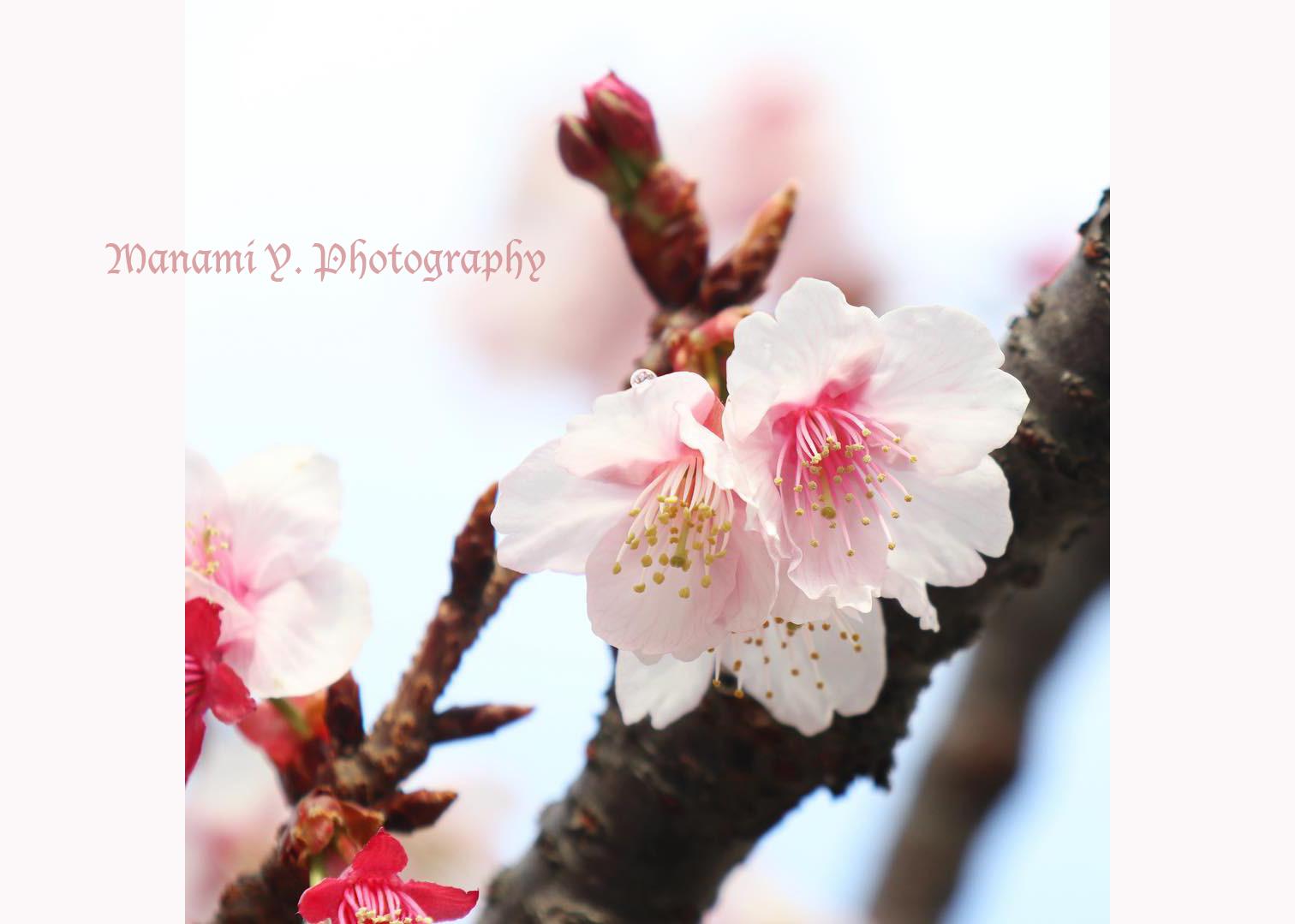 車で通りがかった熱海で咲き始めていた寒桜