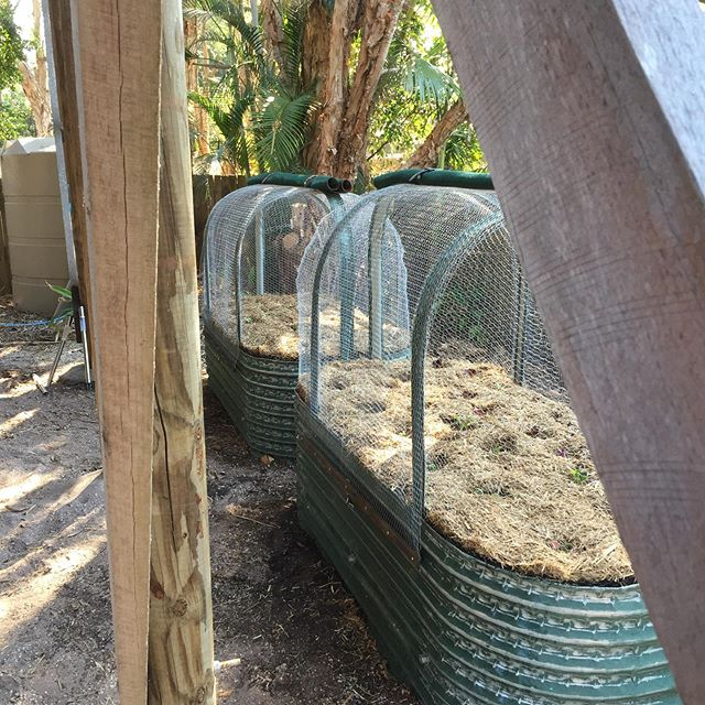 Two organic Wombat Gardens set up today at Ocean Shores.  Bush turkeys are a relentless menace here and will dig up everything. The cage netting means that you can garden with reassurance that no possums, cats, dogs, birds and especially bush turkeys are going to mess up all your hard work.