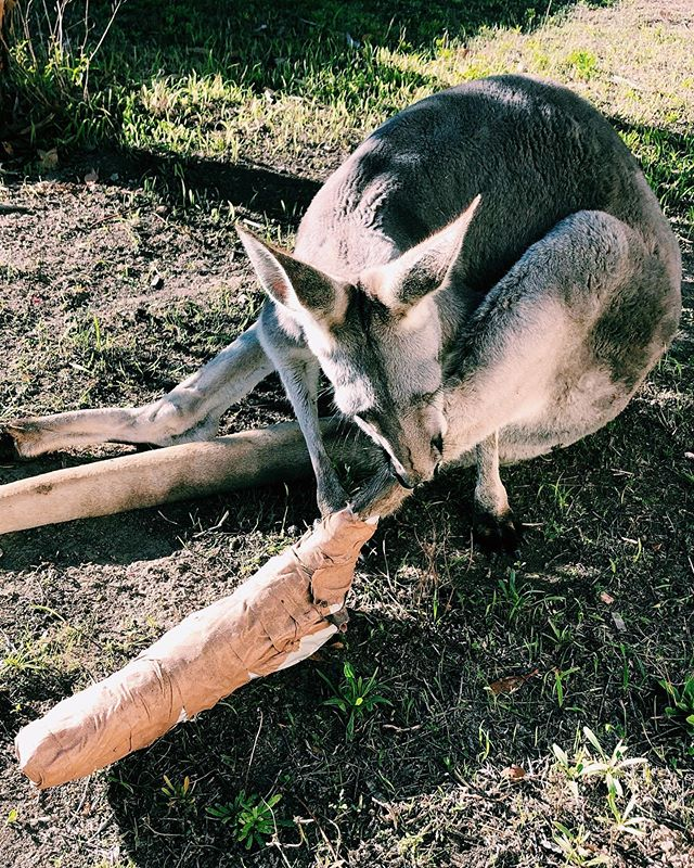 "FUNDS NEEDED for our beloved Erik! 🖤🖤🖤🖤🖤🖤🖤🖤🖤 A few days ago a resident of our favourite orphan kangaroo mob, Erik, broke his leg. It was unsure how it happened, but we are really grateful he is okay!  Erik is the biggest male of the mob at the sanctuary, and being a Red Kangaroo, he has been very lucky to have been able to fix his hind leg with a cast. He was able to be helped by the wonderful crew at Vets on Eyre, but we are now facing a big bill, and want to make sure we help the passionate small team at @twosongssanctuary with whatever funds we can towards this bill.  This bill is $976.65 and is due as soon as possible.  We ask for your kind support, if you can donate any funds towards this, Erik, and the team at Two Songs, and our team at Balu Blue will be forever grateful.  Please see below to donate, please name the donation "" Erik "" and use any of the methods below for donations. . Donations can be made directly to our bank account below . Bendigo Bank Balu Blue Foundation INC 633000 159572397 . or via PayPal -  info@balubluefoundation.org . or at the link in bio via our website . Thankyou from the bottom of our hearts! . #RescueKangaroo #Fundraiser #Erik #HelpErik #LoveWildlife #TwoSongsSanctuary"