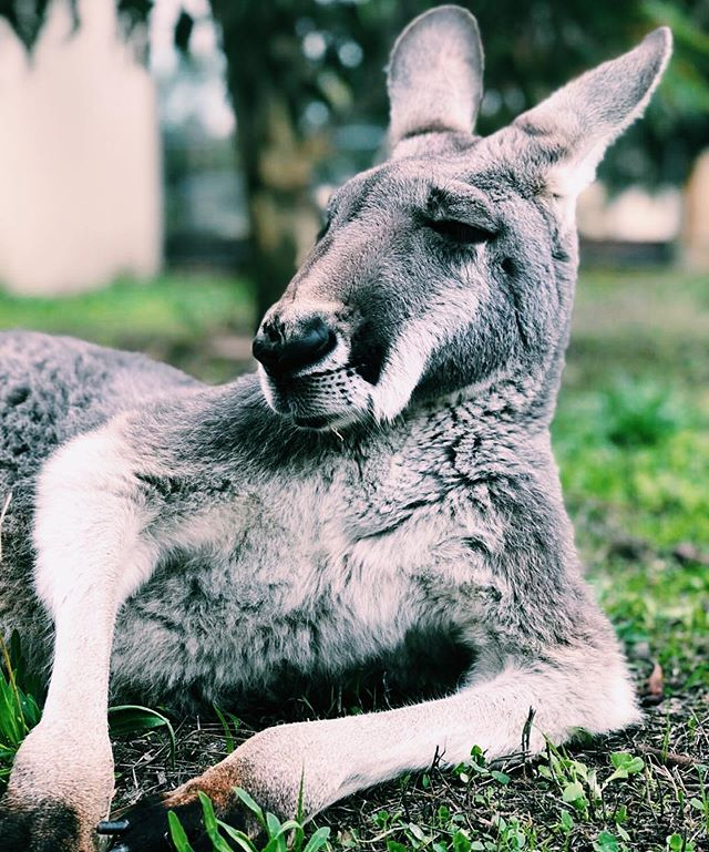 Huge thanks to everyone who donated to our post for Erik ! Thanks to you all we were able to provide a $500 credit to Vets On Eyre to go towards Erik's treatment to help out the team at @twosongssanctary . Forever grateful for your help, from the team at Balu Blue, the kangaroos, and team at @twosongssanctary . #WildlifeRescue #RescueKangaroo #Erik #TwoSongsSanctuary #CheckThePouch #BaluBlueFoundation