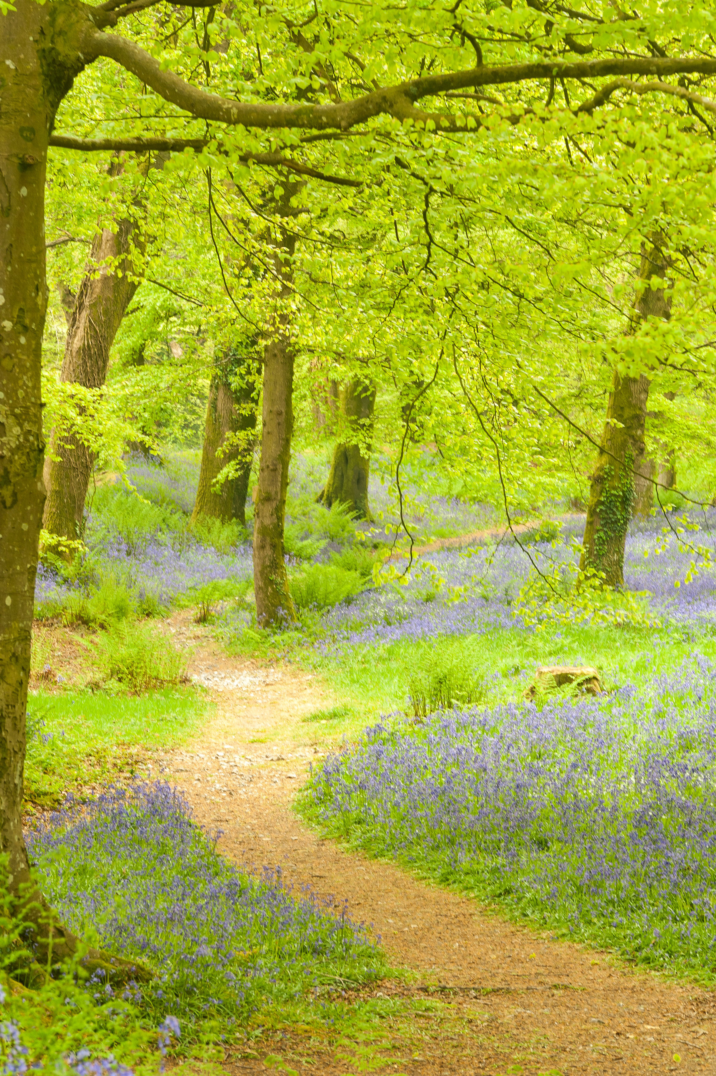 The spring colours at Blackbury Camp are out is truly spectacular