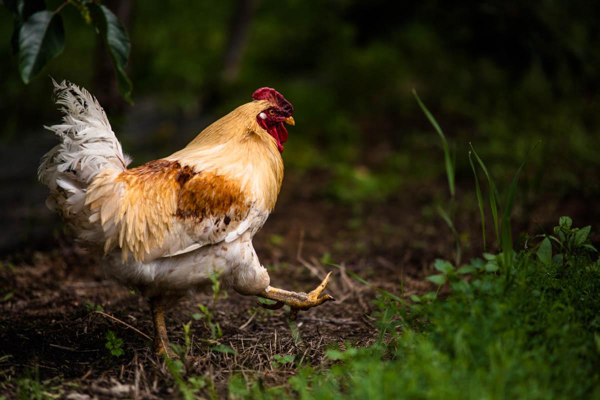 Det heiter ikkje mannevond hane for ingenting