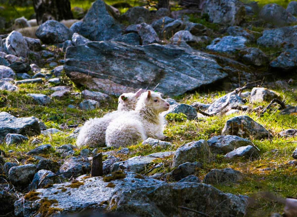 På Ljøsne er det mange dyr som sau....
