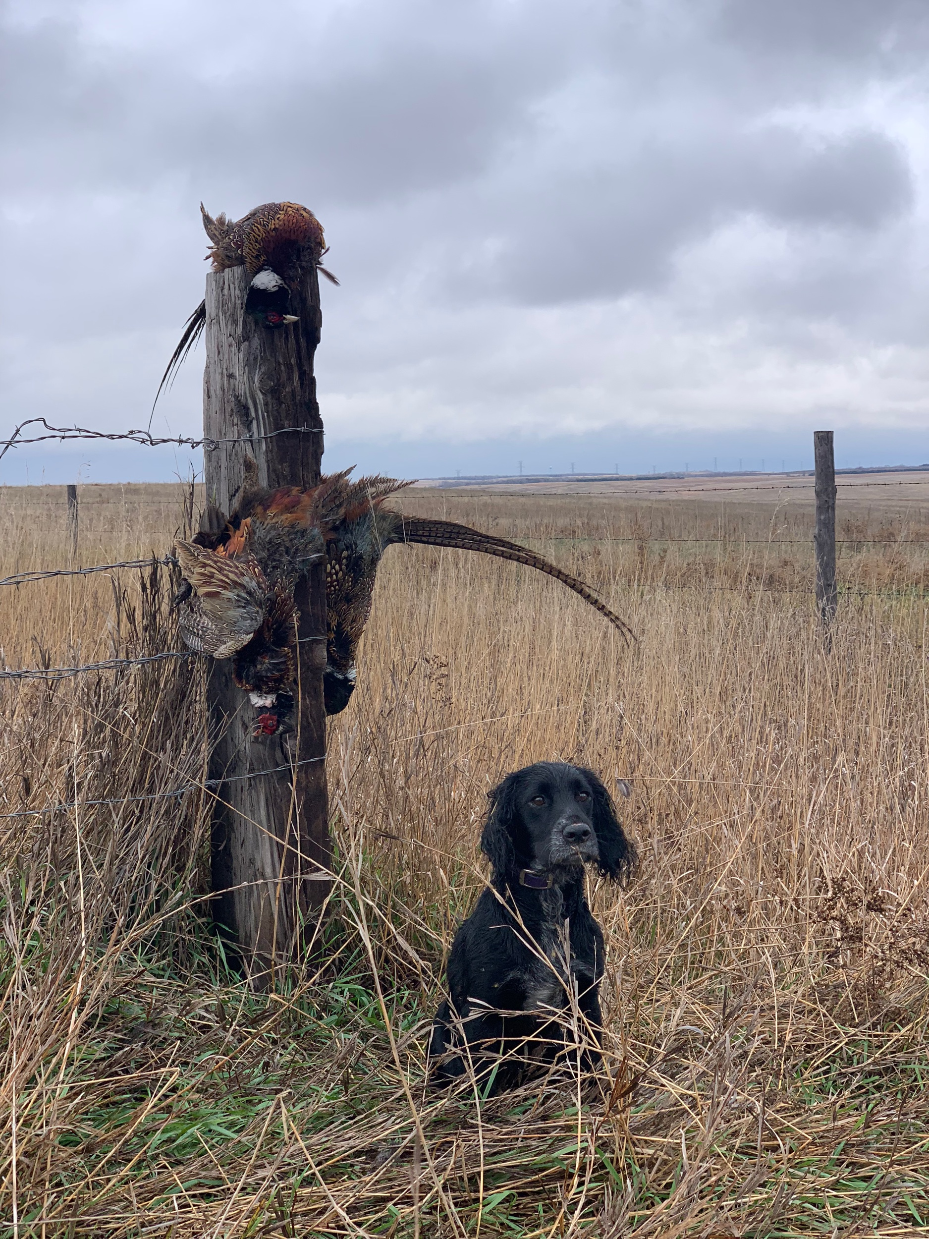 Lucy our first English cocker with a limit of South Dakota Pheasant