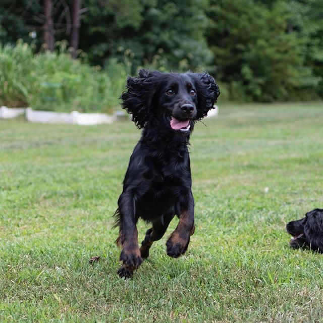 Crazy cocker mode.....ENGAGED!!! 🐕🤪#crazypuppy #englishcockerspaniel #workingcocker #shoottothrill #mansbestfriend #womansbestfriend #dog #gundog #birddog #huntingdog #fielddog #workingdog #doglover #dogoftheday #va #virginia #fredericksburgva #fxbg #hunting #birdhunting #birdhunter #uplandhunting #outdoors #hunt #instadog