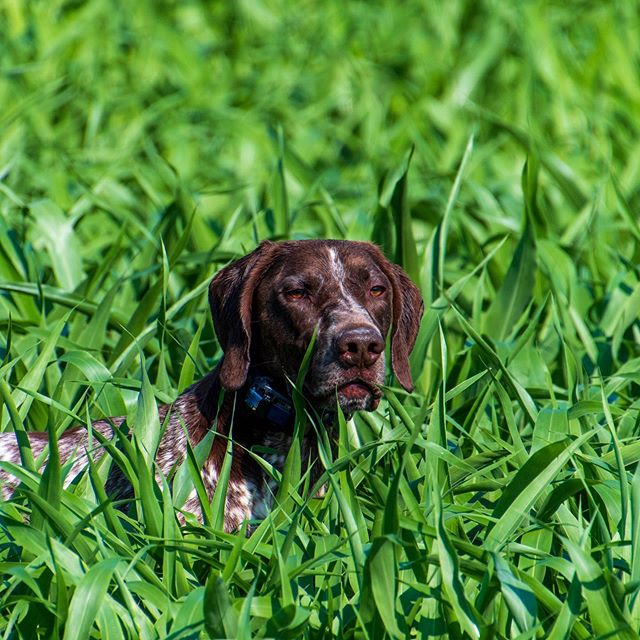 Jackson mean mugging...😡😡😡He hates birds! 🤣Can't wait for hunting season. Bring on the fall air and cooler weather! #germanshorthairedpointer #gsp #shoottothrill #mansbestfriend #womansbestfriend #dog #gundog #birddog #huntingdog #fielddog #workingdog #doglover #dogoftheday #va #virginia #fredericksburgva #fxbg #hunting #birdhunting #birdhunter #uplandhunting #outdoors #hunt #instadog