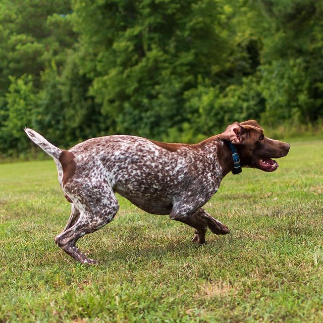 Jackson playing keep away from his kennel mates. It's great having pups with such great temperament. #juked #germanshorthairedpointer #gsp #shoottothrill #puppyplaytime