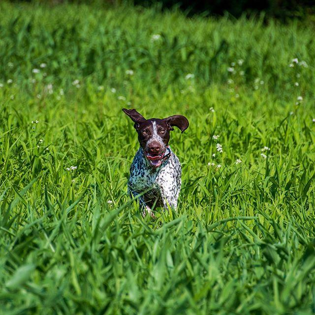 Didi loves running in the fields. #germanshorthairedpointer #gsp #fieldday #shoottothrill #mansbestfriend #womansbestfriend #dog #gundog #birddog #huntingdog #fielddog #workingdog #doglover #dogoftheday #va #virginia #fredericksburgva #fxbg #hunting #birdhunting #birdhunter #uplandhunting #outdoors #hunt #instadog
