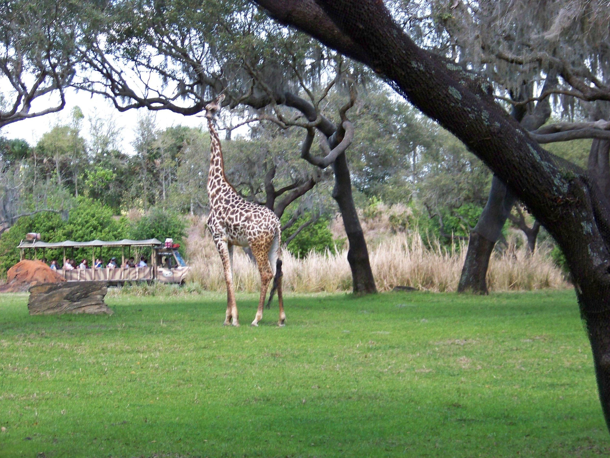 Kilimanjaro Safaris, Africa, Disney's Animal Kingdom