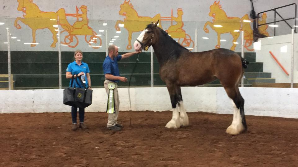 Eberglo Best In Show and Best of Breed Clydesdale; Ozarks Royal E-Dancer, three year old mare. Sired by PLUNTON CALUM MAELOGAN and out of the mare BELLEAU G.F. JULIE Owned by Hollow Creek Stables