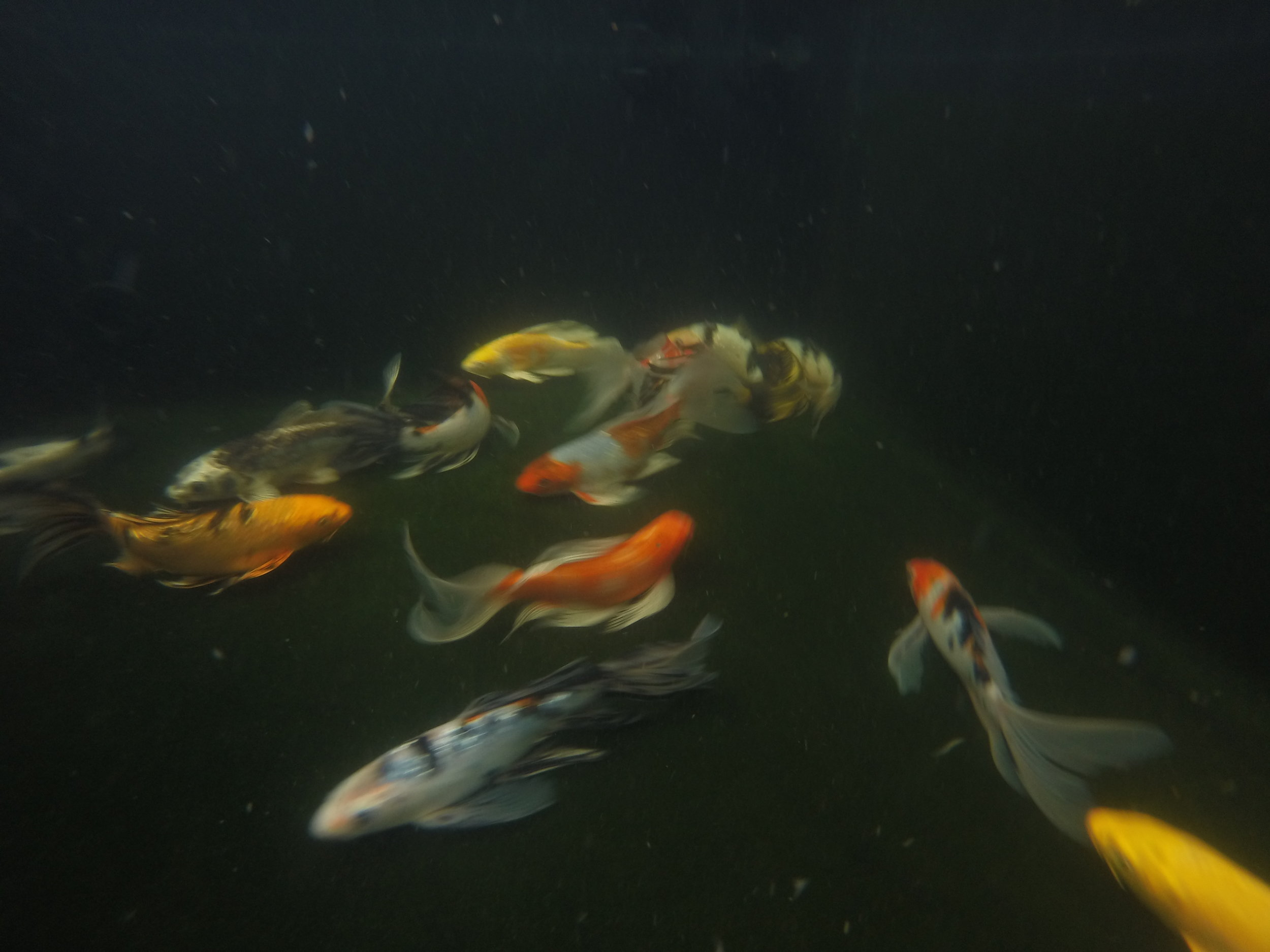 Examples of Butterfly Koi are becoming more widely available as demand grows, seeing many variations in color and quality emerge.