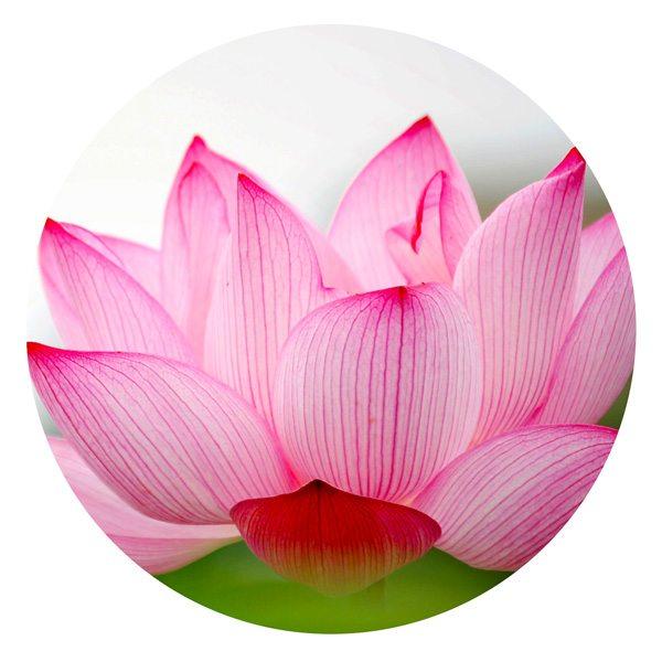 lotus-pink-600px-k.jpg