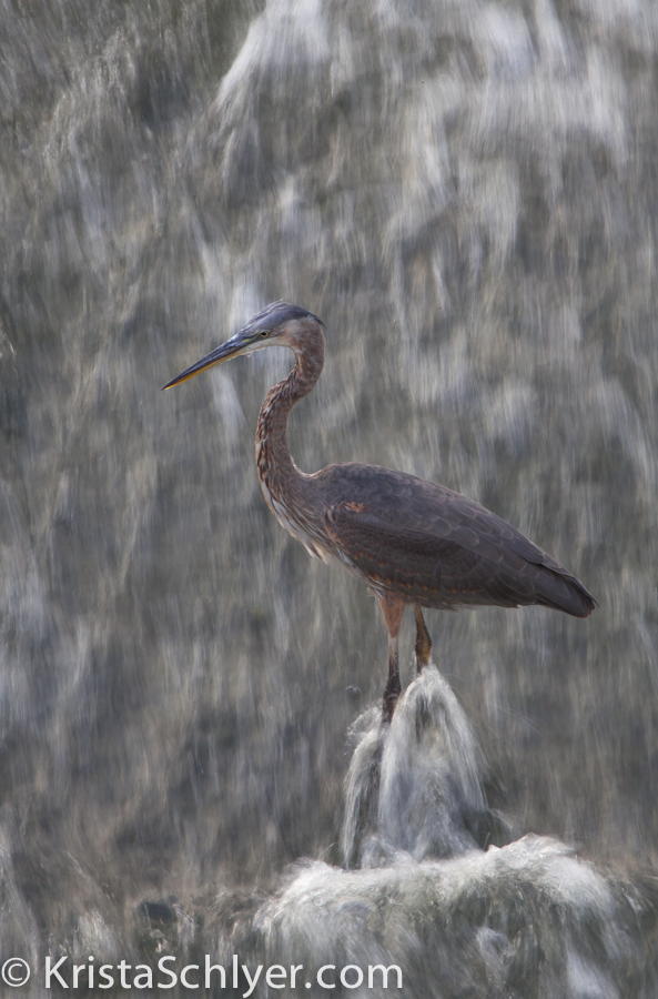 A great blue heron in the Anacostia River/