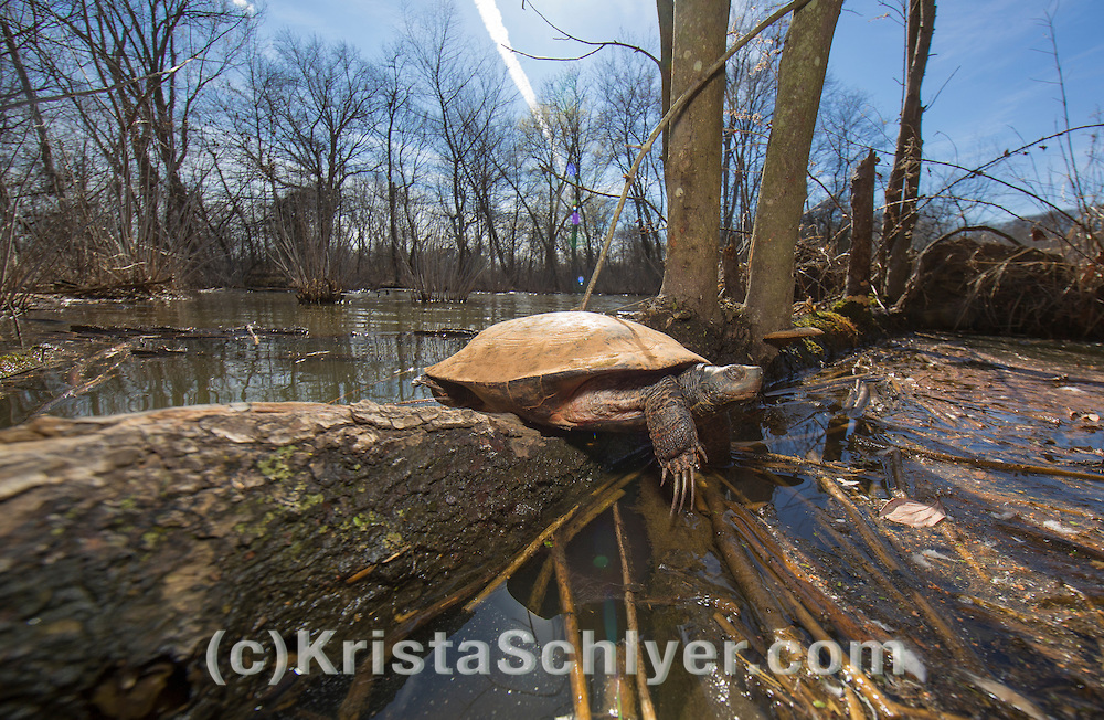 Turtle in the Anacostia River watershed.