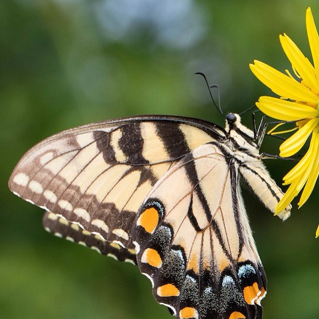 Happy Tuesday #AnacostiaRiver watershed. Hope you all had a good Labor Day weekend and got to spend some time #riverside! #WashingtonDC #wildlife #tigerswallowtail #butterfly #beauty Photo by @krista_schlyer