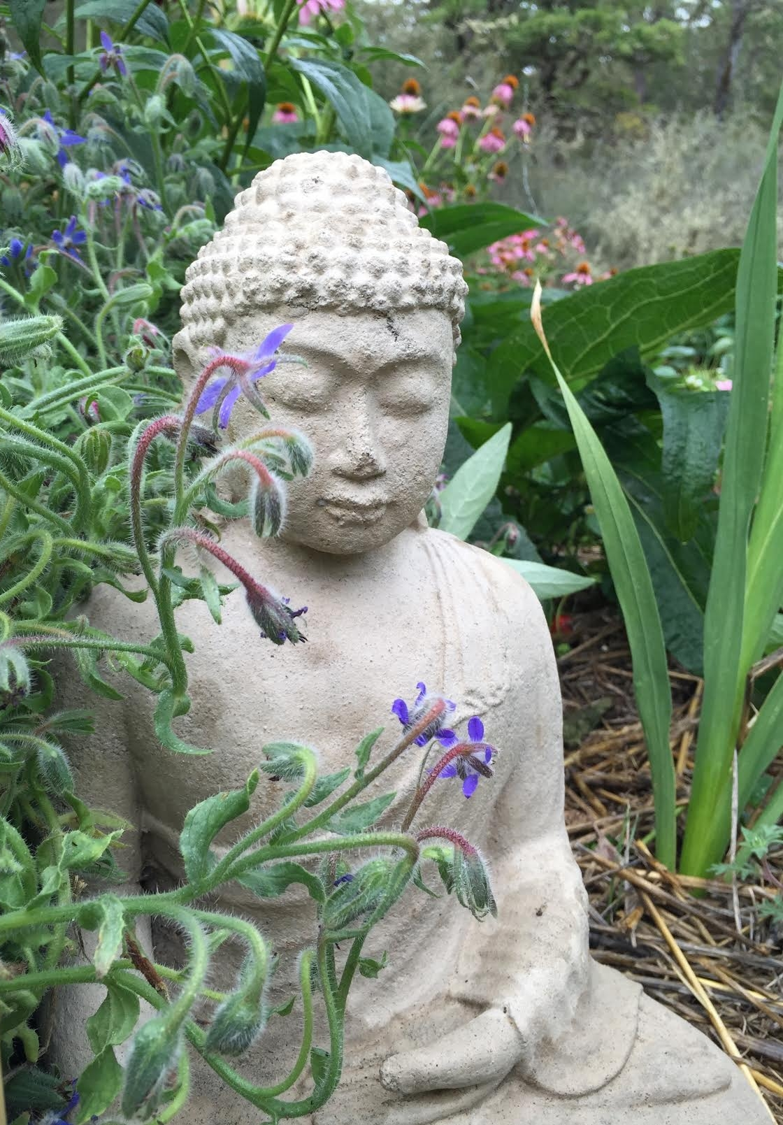 Blue Star Shaped Blossoms decorating the garden (Borago officinalis), and Echinacea purpurea