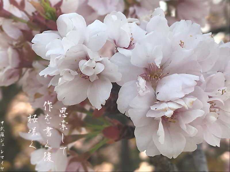 Sakura-saku.jpg