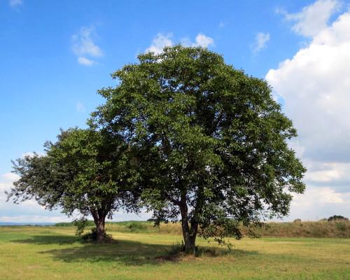 noce-albero-estate.jpg