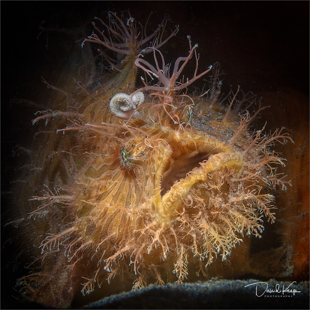 Hairy Frogfish (1 of 1).JPG