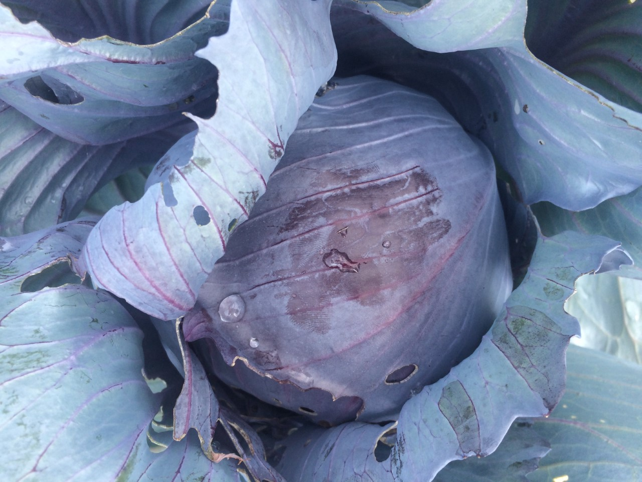Cabbage, purple.jpg