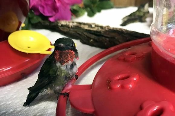 hummingbird-baby.jpg