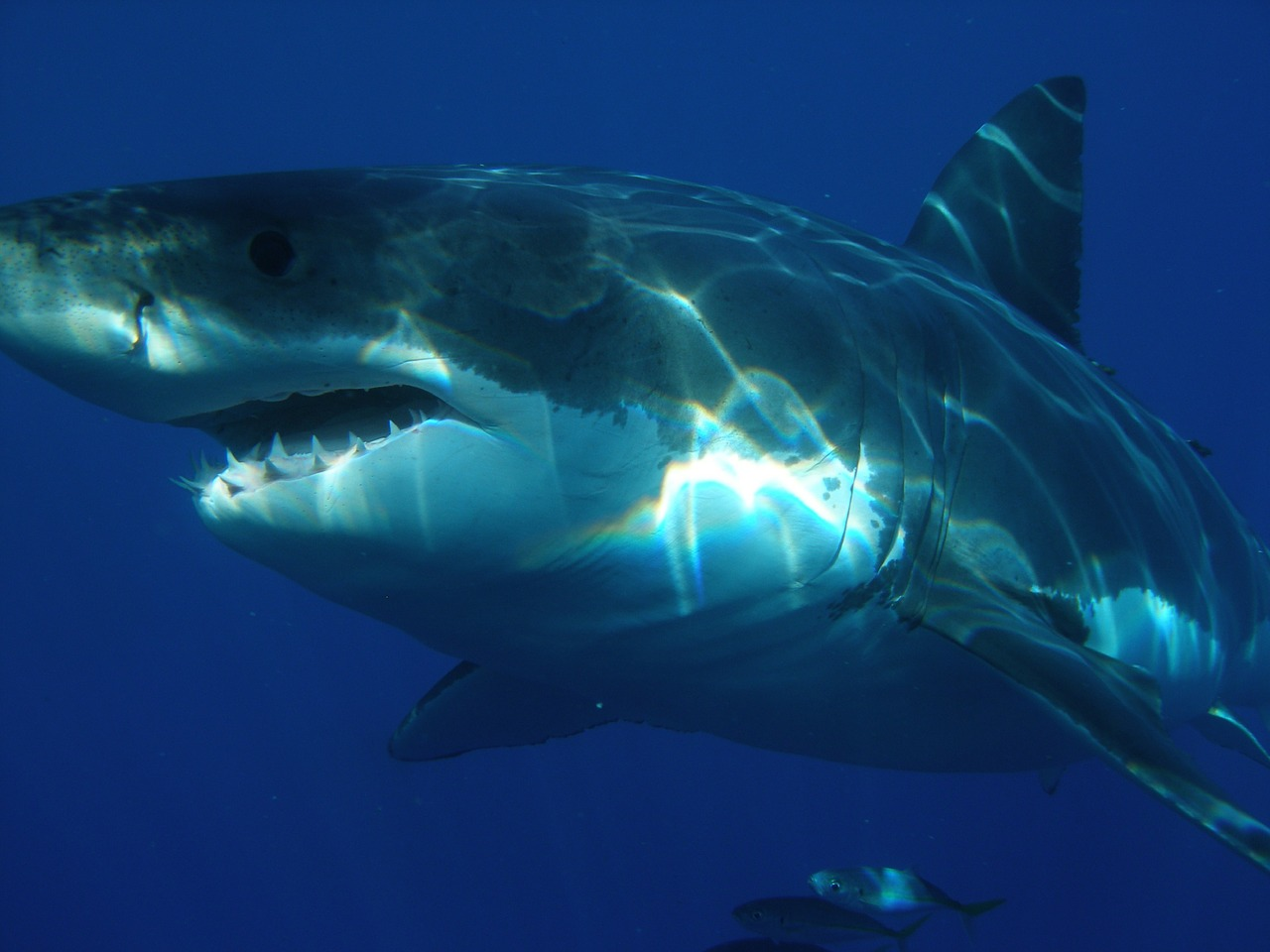 great-white-shark-398276_1280.jpg