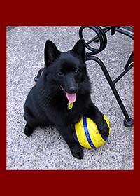 Mr. Bubby Nugget   Education: Seattle DogWorks; Sit, Down, & Stay   Breed: Schiperke