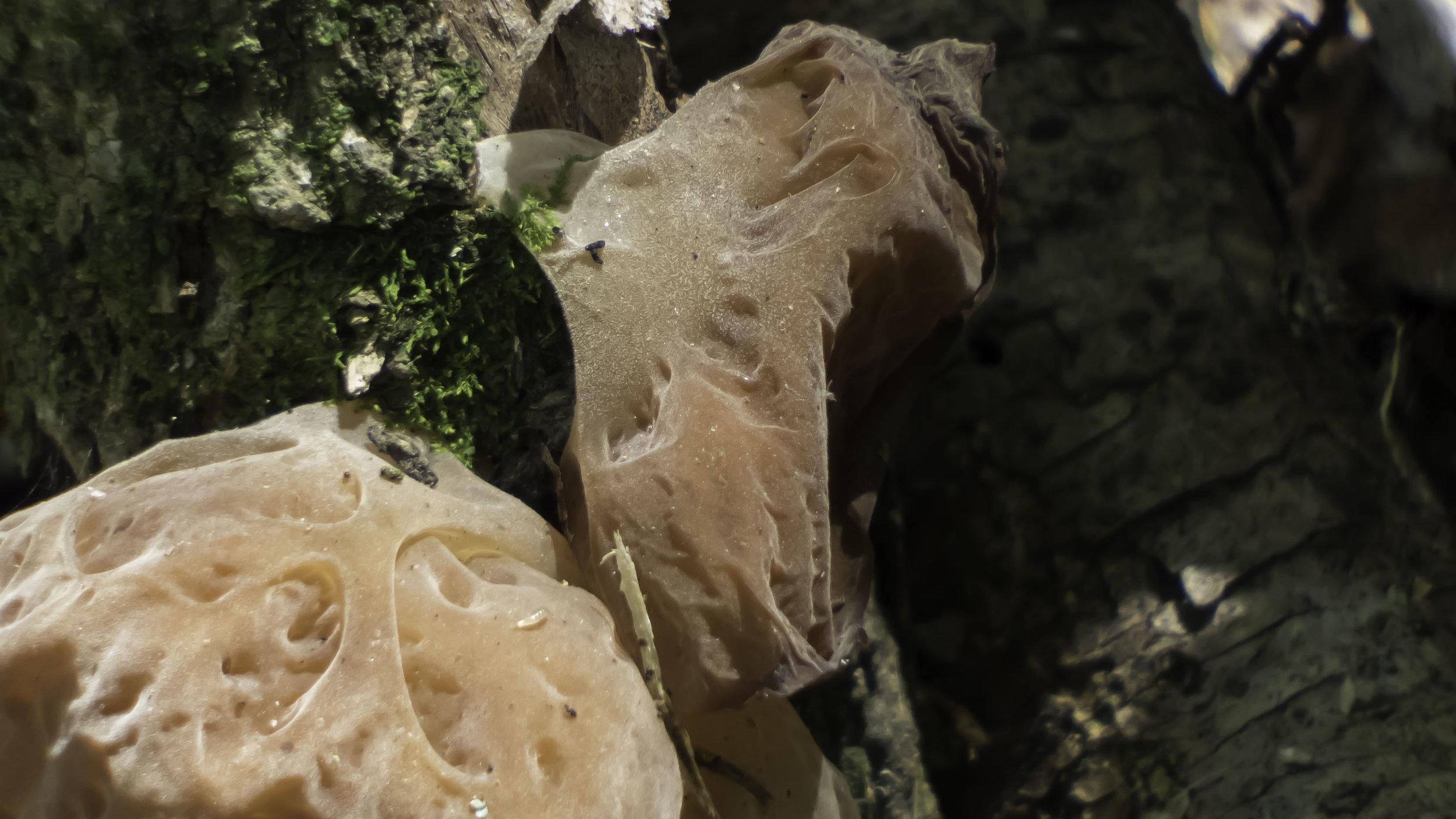 Genus Auricularia-David Hebert-102.jpg