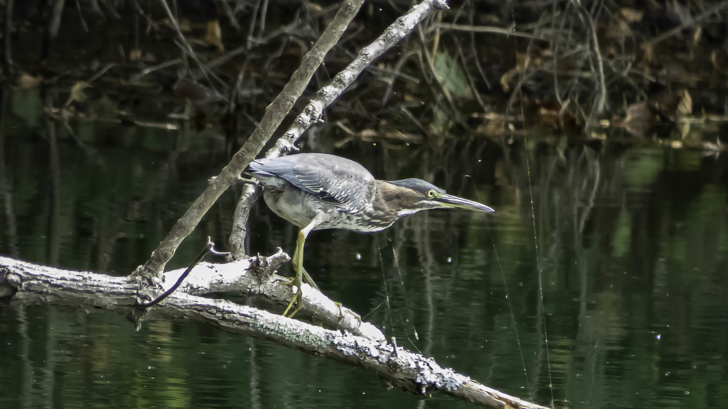 Green Heron (Butorides virescens)-David Hebert-103.jpg