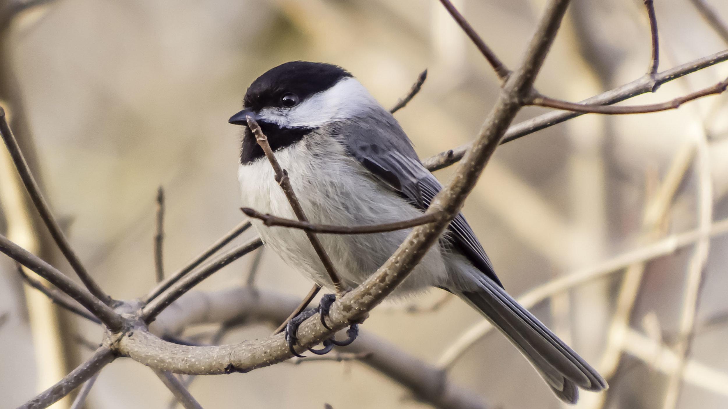 Chickadees and Allies (Genus Poecile)-David Hebert-101-2.jpg