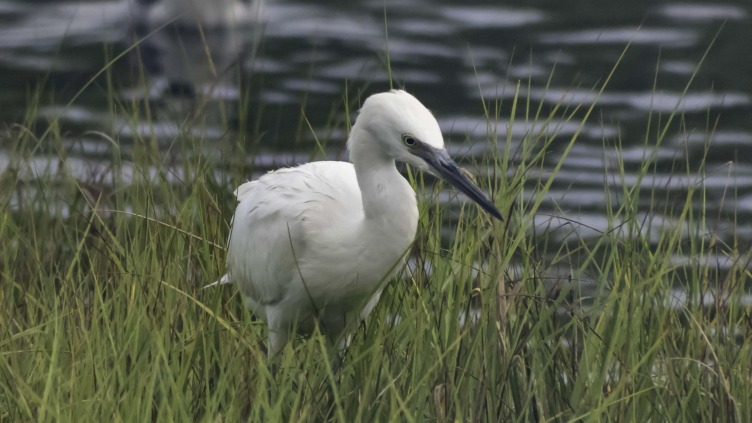 Snowy Egret (Egretta thula)-David Hebert-101.jpg
