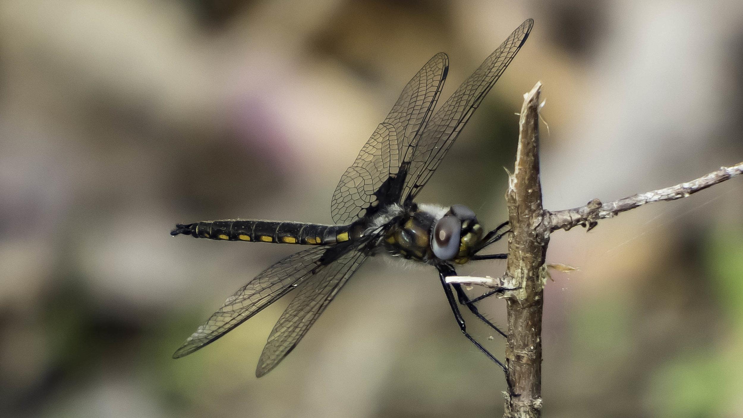 Common Baskettail (Epitheca cynosura)-David Hebert-101.jpg
