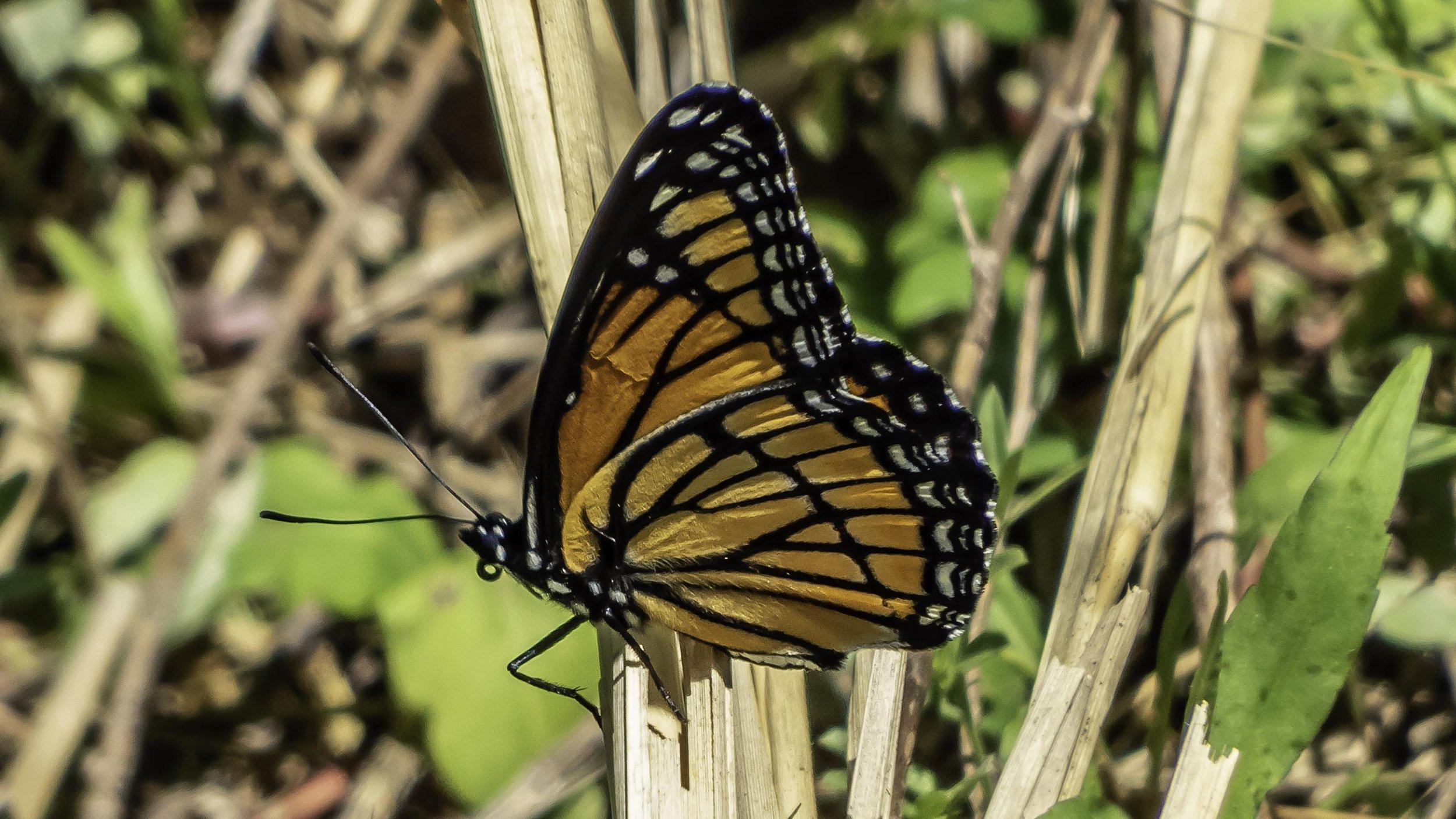 Viceroy (Limenitis archippus)-David Hebert-101.jpg