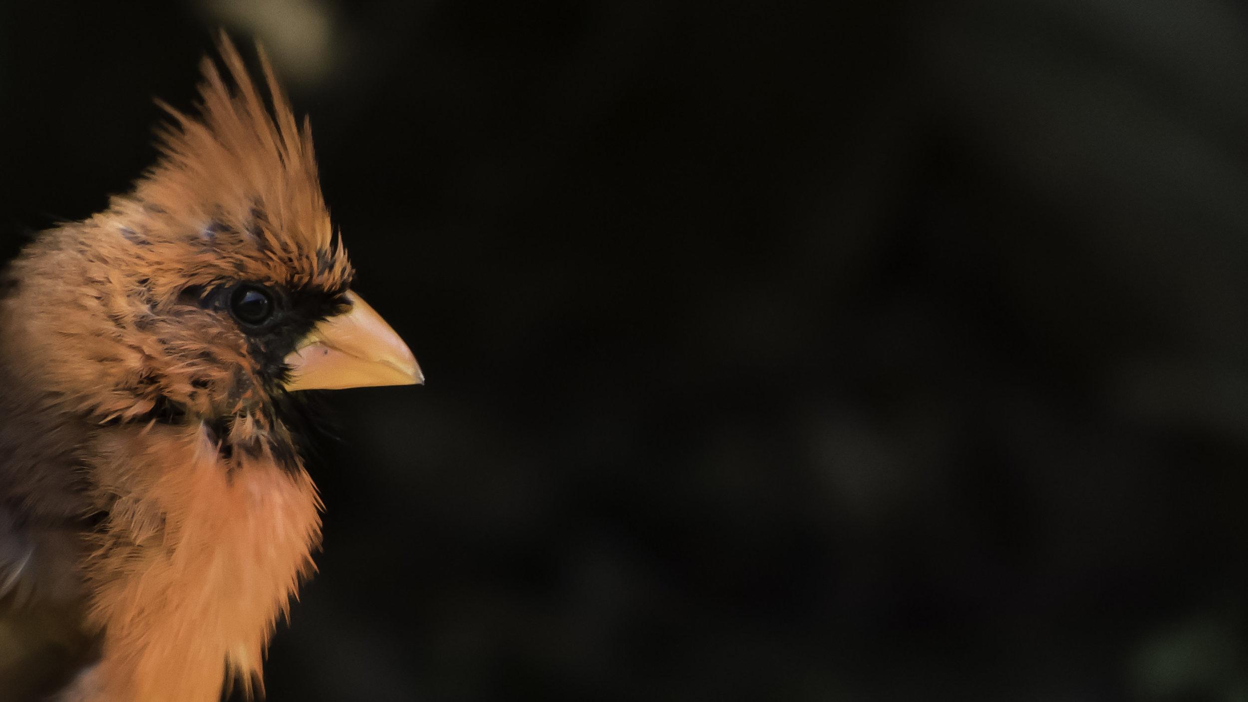 Northern Cardinal (Cardinalis cardinalis) -David Hebert-101.jpg
