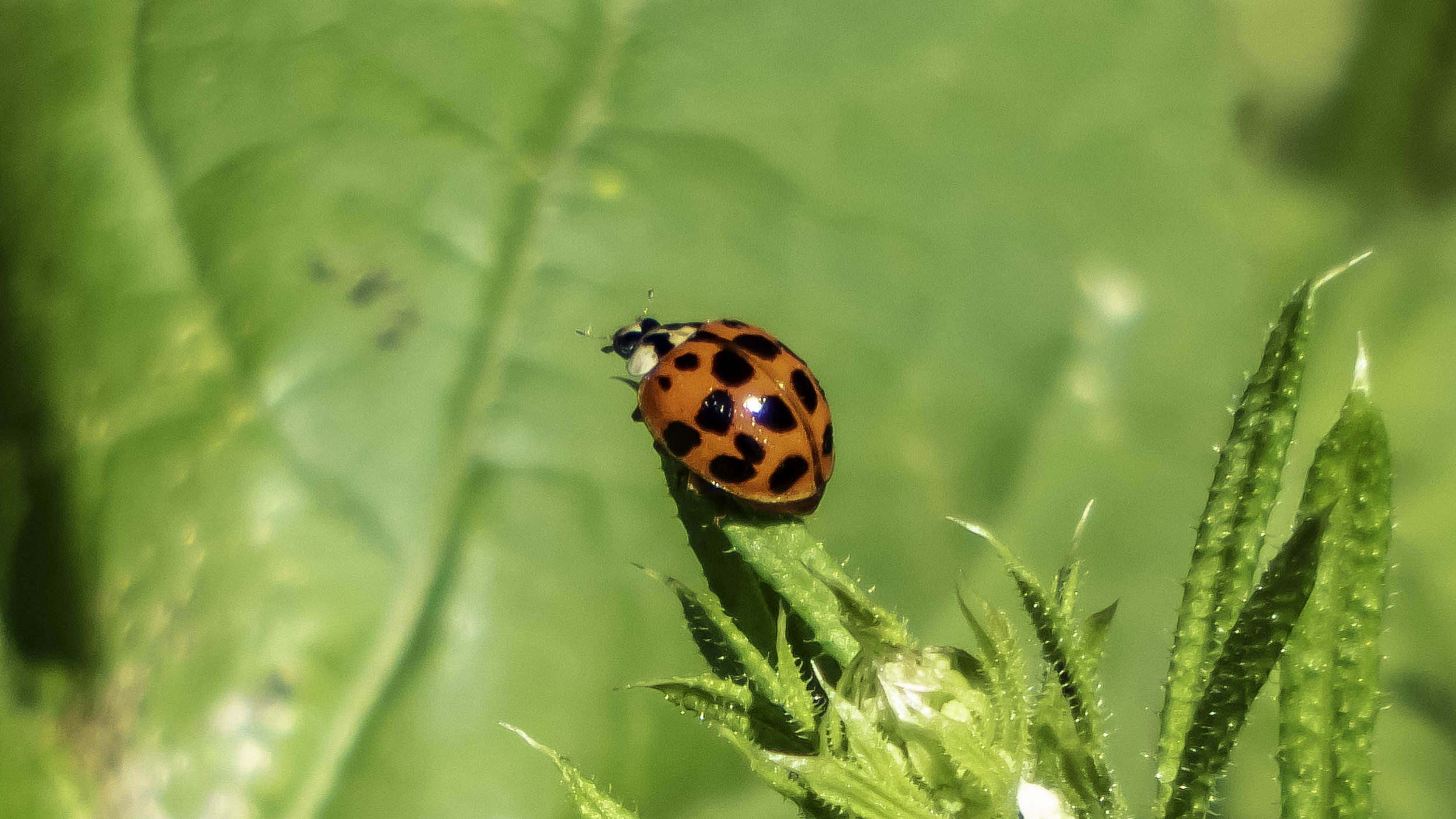 Asian Lady Beetle (Harmonia Axyridis)-David Hebert-101.jpg