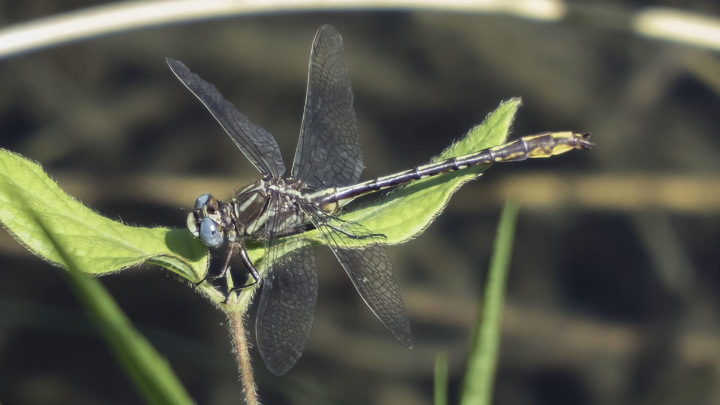 Lancet Clubtail (Phanogomphus exilis) Male-David Hebert-101.jpg