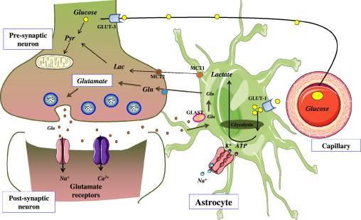 Glutamate Neurotransmitter Metabolism.   Source: Molecular Metabolism (2012)