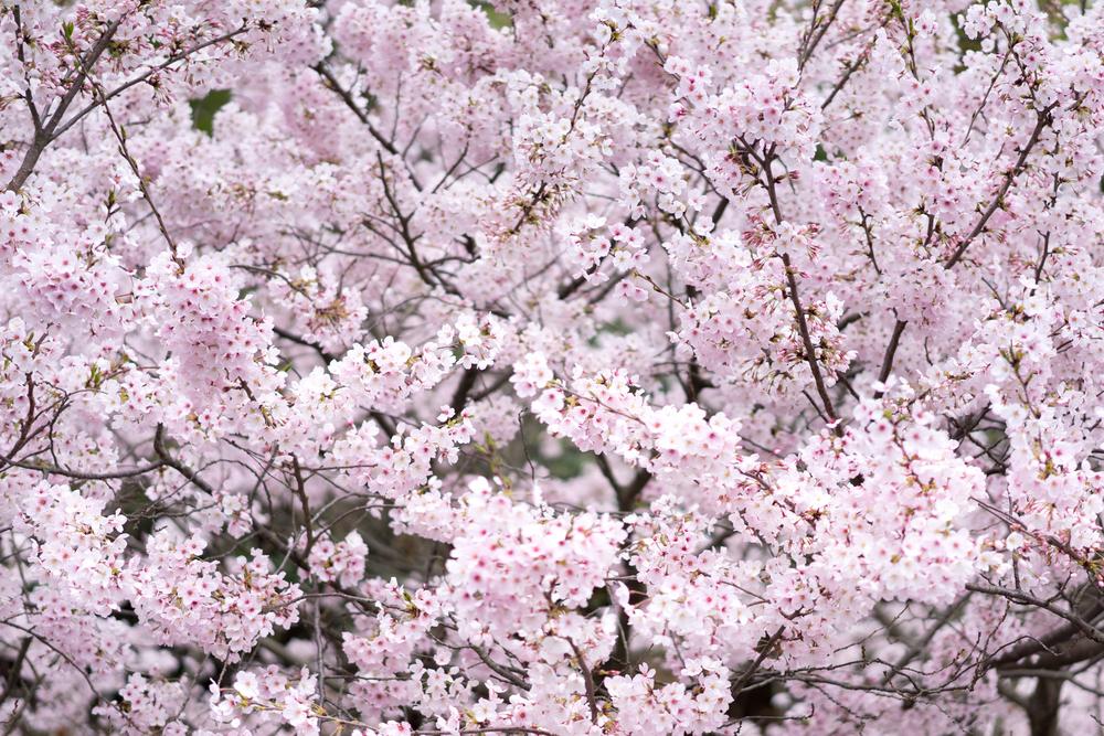 Shop Flowering Trees -
