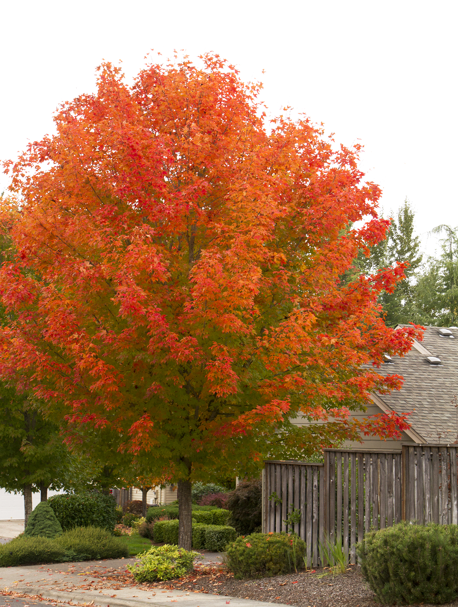 October Glory Maple -