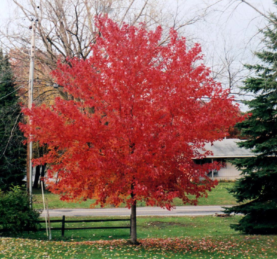 Red Sunset Maple -