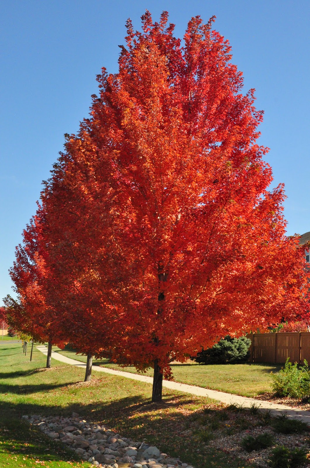 Autumn Blaze Maple -