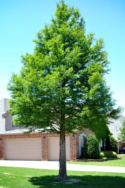 Bald Cypress - Call for details