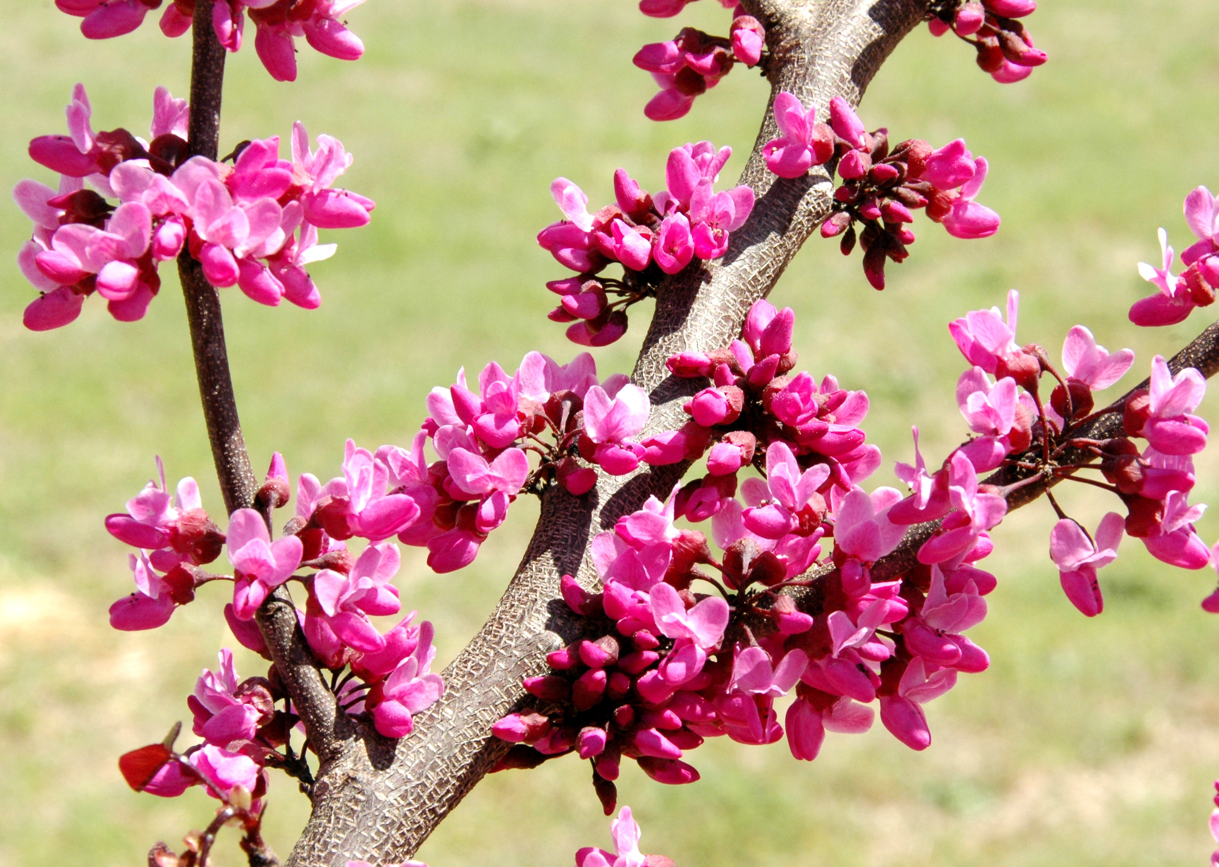 Redbud - Call for details
