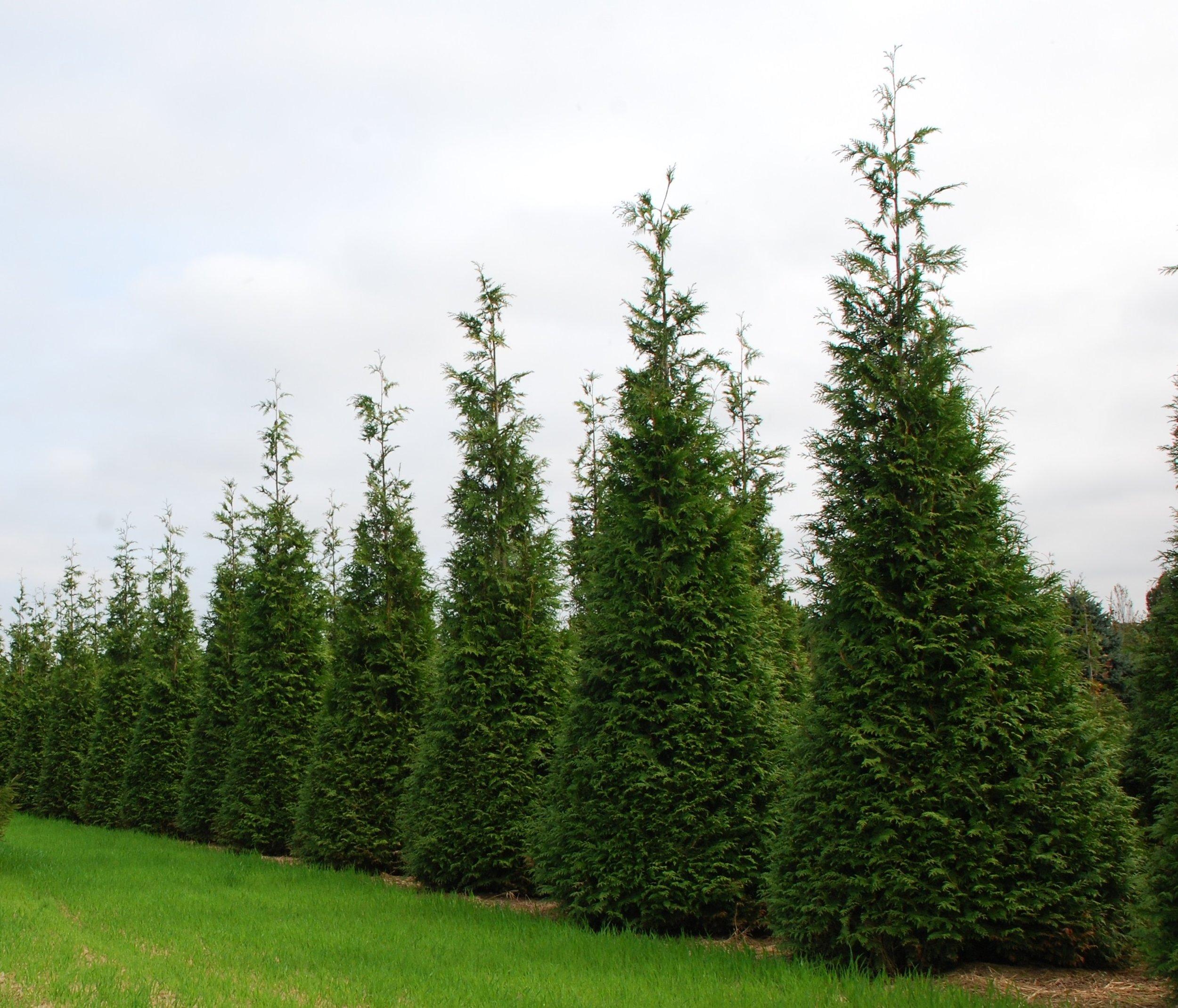 Green Giant Arborvitae - Call for details
